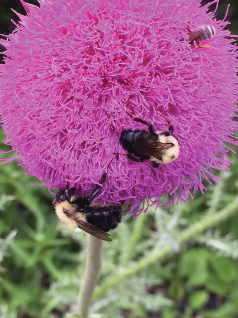 web1_Milk-thistle-bloom.jpg