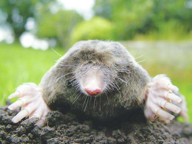 web1_Mole.jpg
